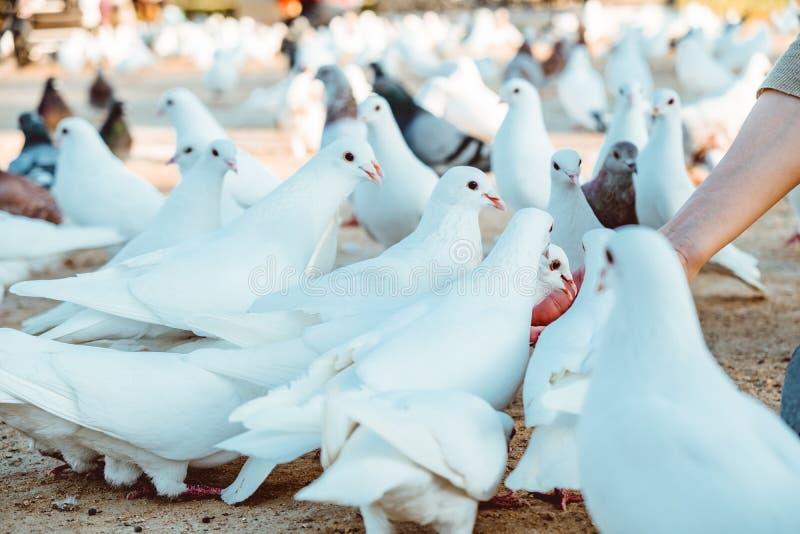 Pigeon mangeant de l'alimentation se tenant sur la main humaine Une femme alimente des pigeons photographie stock libre de droits
