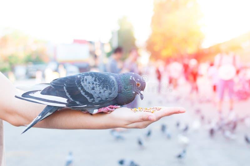 Pigeon mangeant de la main de femme sur le parc, pigeons de alimentation en parc au timePigeon de jour mangeant de la main de fem photo stock