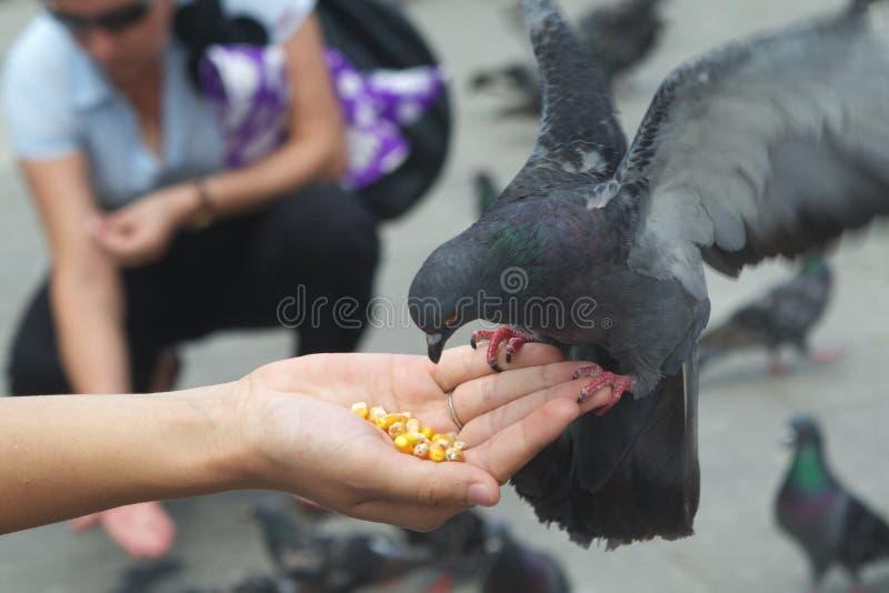 Pigeon mangeant du maïs de la main photos stock