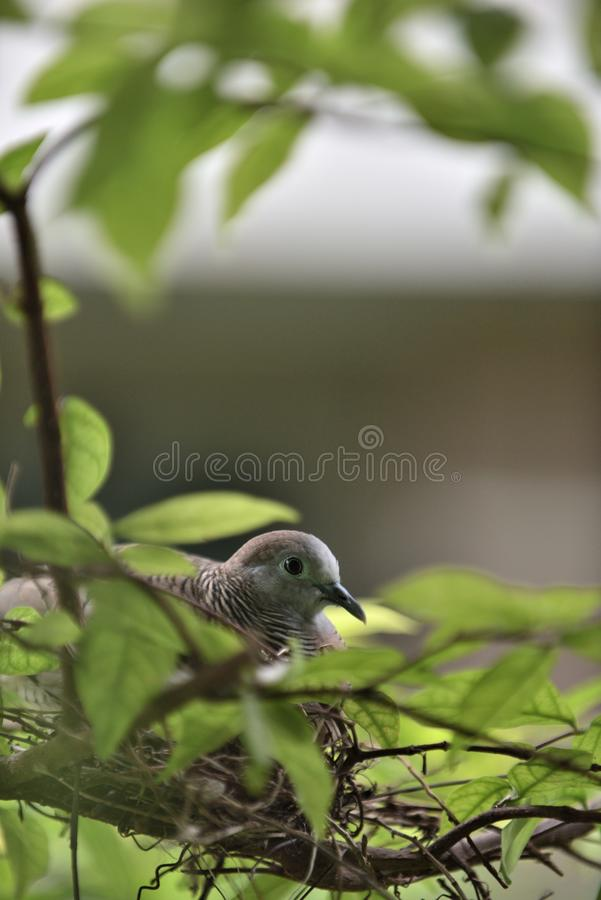 A pigeon mommy is taking care of her little babies. stock image