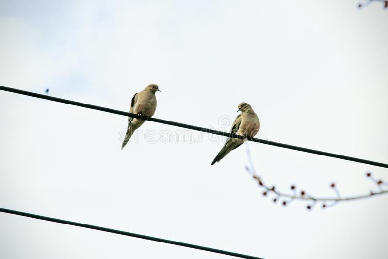 Pigeon. A pair of passenger pigeons sitting on the cable royalty free stock photo