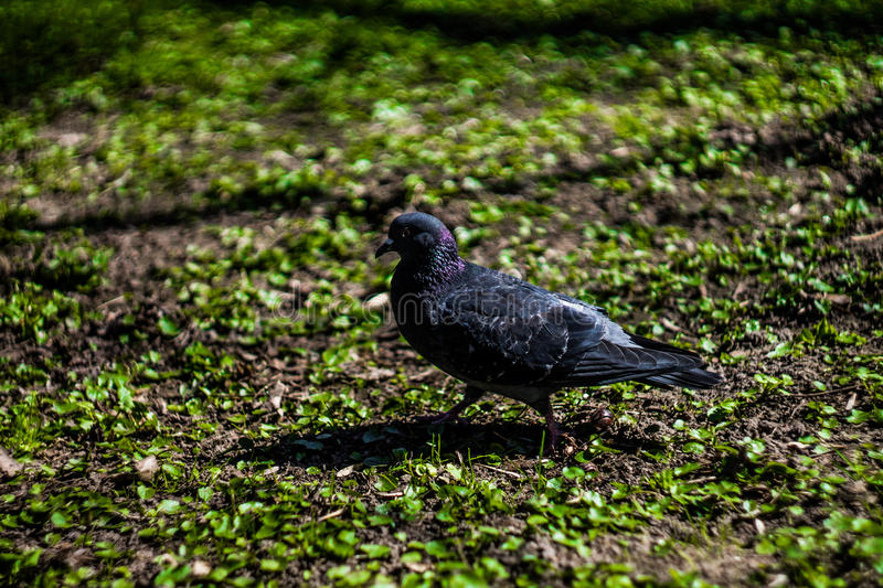 A pigeon is in a park. Missed in a park took picture a pigeon, the saturated grass and beautiful боке did the business stock photo