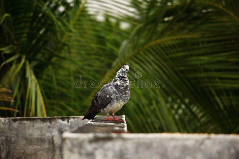 Pigeon pelucheux photo libre de droits