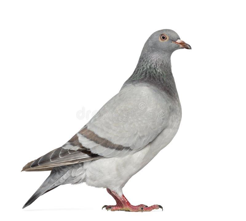 Pigeon pionnier texan d'isolement sur le blanc image stock