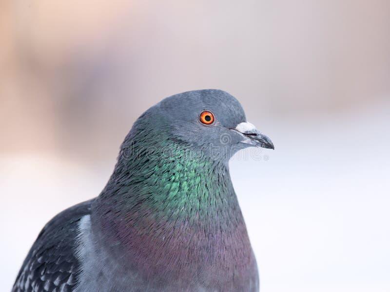 Pigeon Portrait Stock Photo