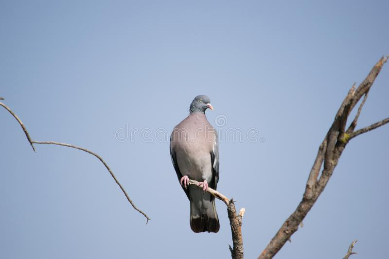 Pigeon posed in a branch. Pigeon posed on a branch in a tree near the city royalty free stock photos