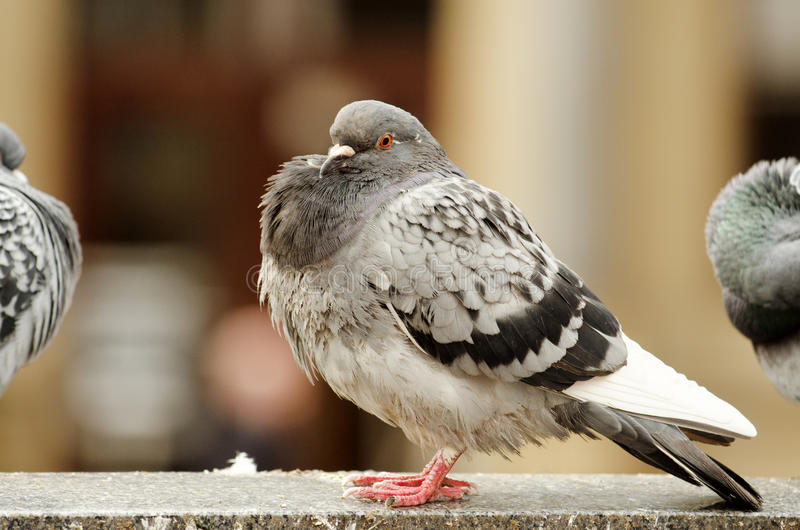 A pigeon with a puffed out chest stock photo
