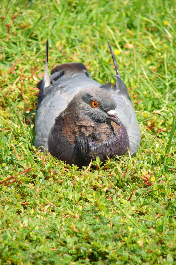 A pigeon on the rest royalty free stock photos