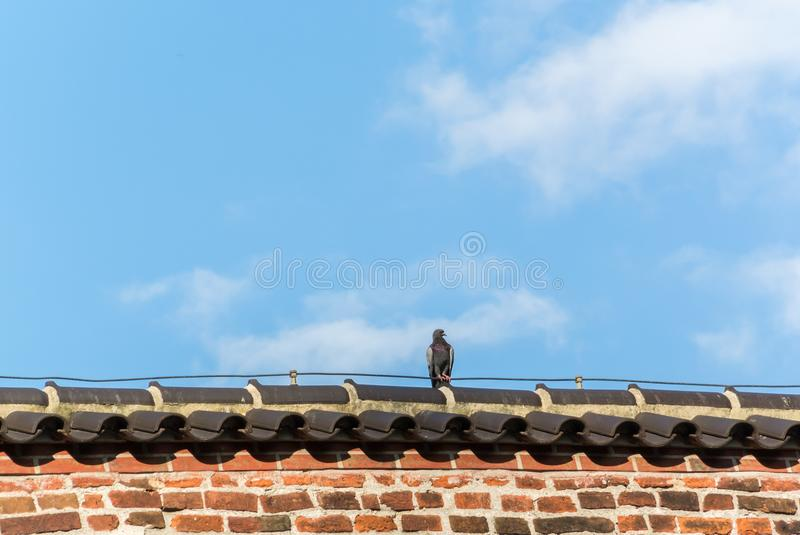 Pigeon resting on the roof stock photos
