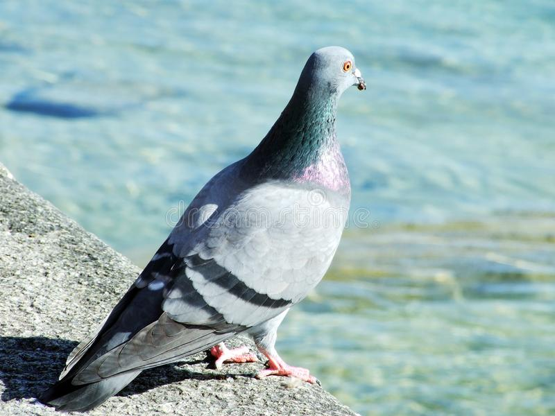 Pigeon by the River Rhine, Stein am Rhein. Canton of Schaffhausen, Switzerland royalty free stock photos