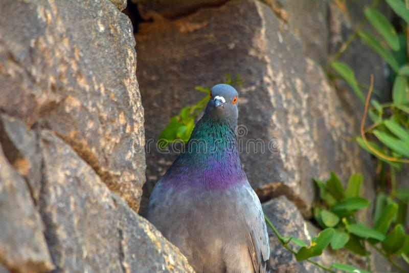 Pigeon royalty free stock image