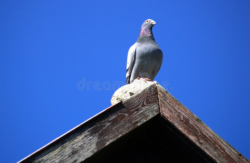 Pigeon on Roof. Lone gray pigeon (also known as rock dove) sitting on top of a peaked wooden roof royalty free stock images