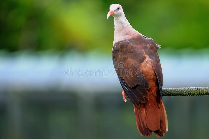 Pigeon rose photos libres de droits