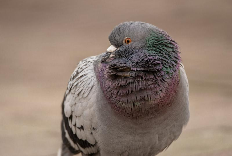 Pigeon with ruffled feathers on a city sidewalk royalty free stock photography