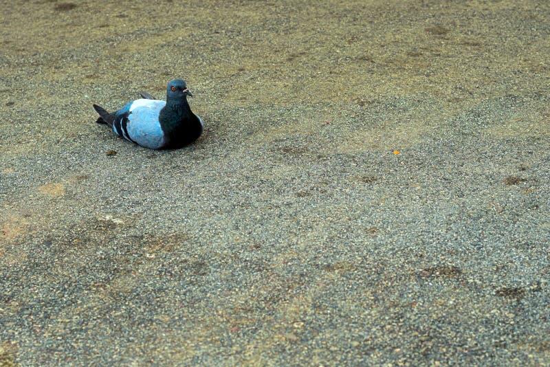 Pigeon s'?tendant sur le goudron avec un regard grave photos libres de droits