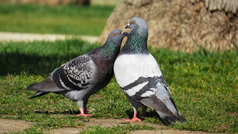 Pigeon`s Love - Amor de Palomas royalty free stock image