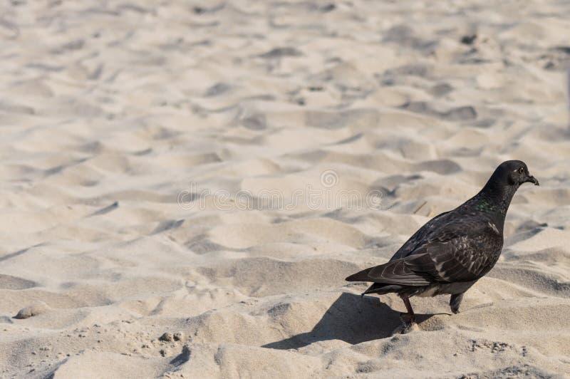 Pigeon on the sandy beach.  royalty free stock photos