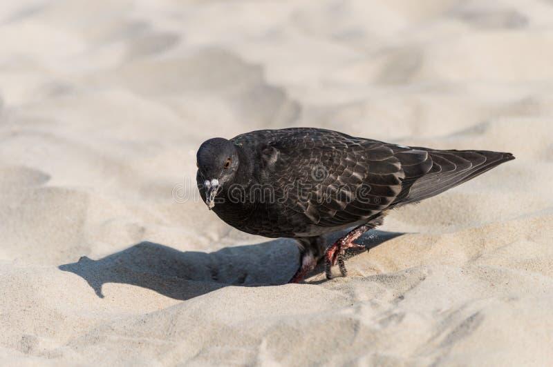Pigeon on the sandy beach.  stock photo