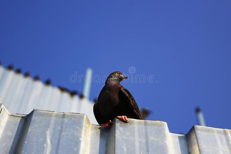 Pigeon se reposant sur la plaque de métal photographie stock