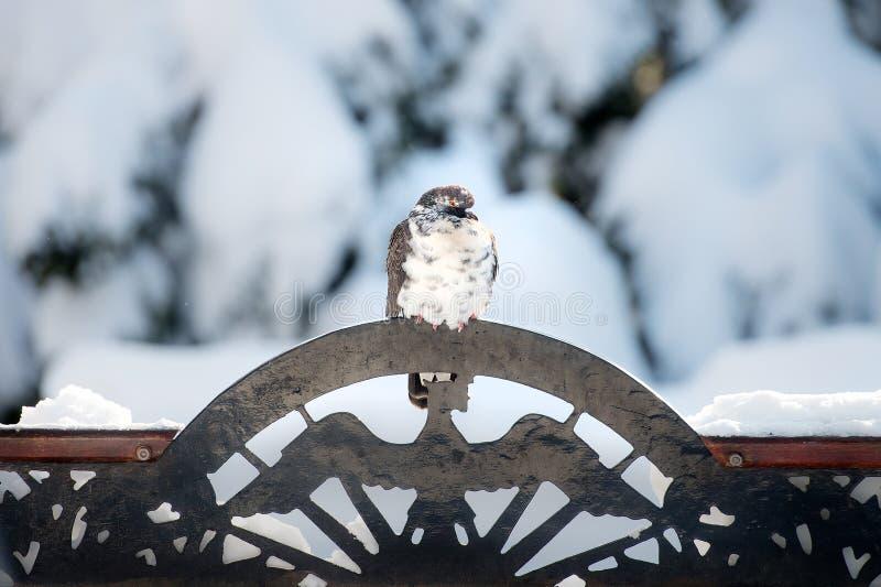Pigeon se reposant sur un ornement d'oiseau en métal images libres de droits