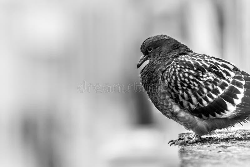 Pigeon se reposant sur un rebord du ` s de bâtiment photographie stock