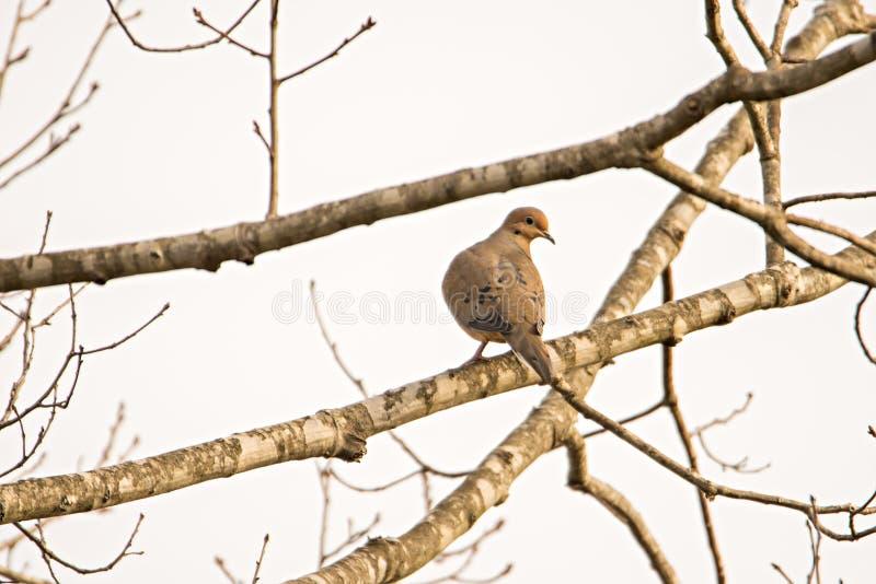Pigeon se reposant sur une branche d'arbre se baignant au soleil photo libre de droits