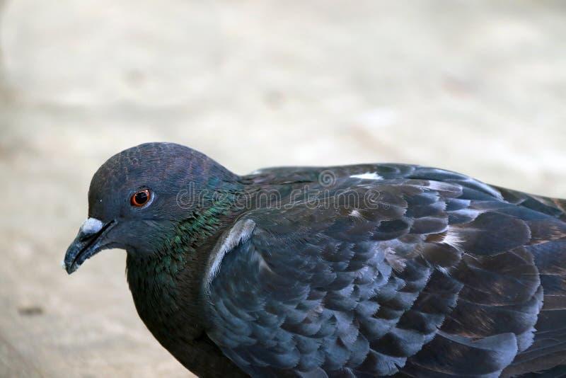 Pigeon se tenant sur le plancher en bois c'est une graine ou un fruit vaillante mangeant l'oiseau avec une petite tête, jambes co image libre de droits