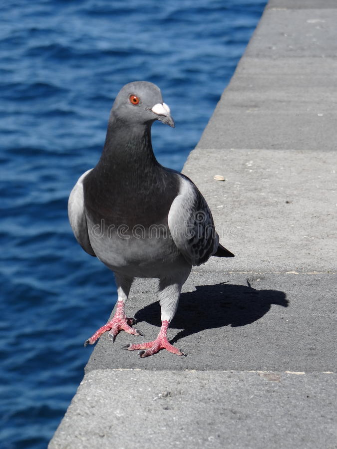 Pigeon at the sea stock images