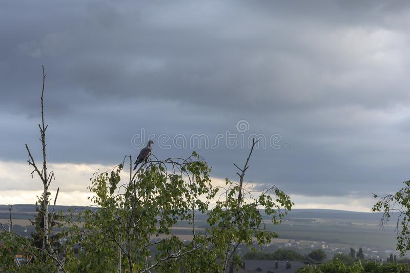 A pigeon sits on a branch of a tall tree waiting for a storm against the sky royalty free stock image