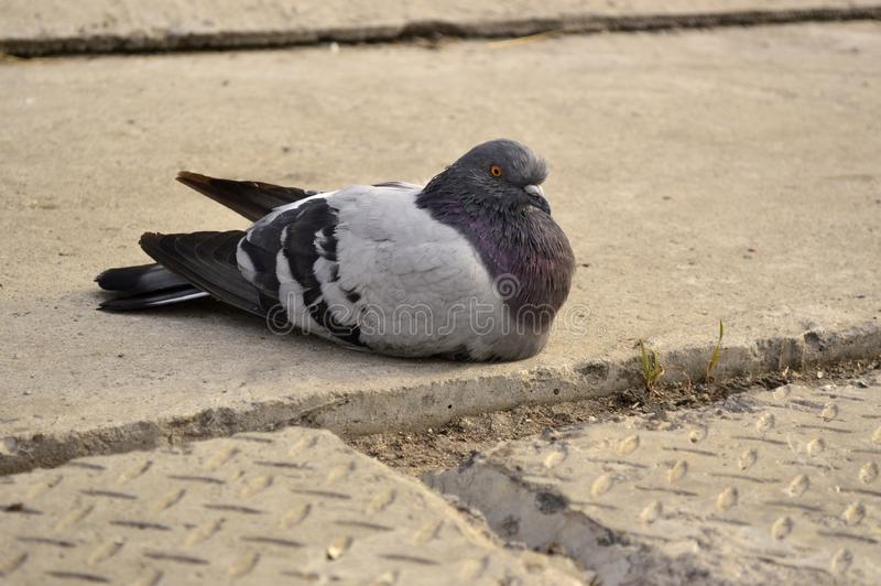 Pigeon sitting on a concrete floor. Close-up royalty free stock photos