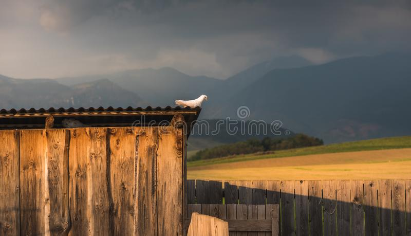 Pigeon Sitting on Dovecote royalty free stock image