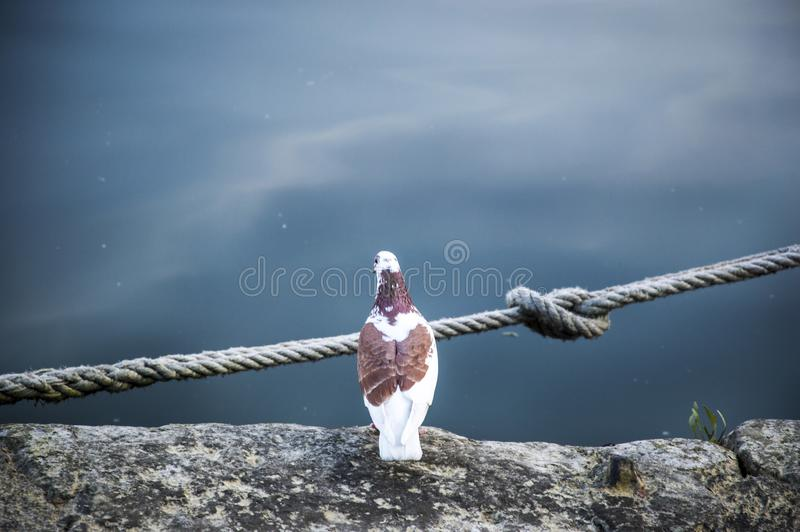 A pigeon, sitting on the edge of the harbor in Honfleur, Normandy, France stock photos