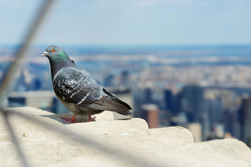 Pigeon sitting on the observation deck of Empire State Building. stock photo