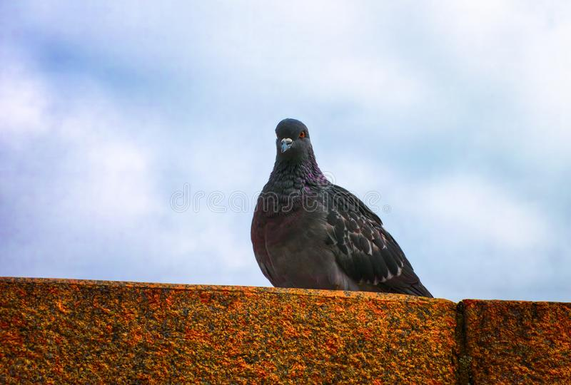Pigeon sitting on the stone royalty free stock photo