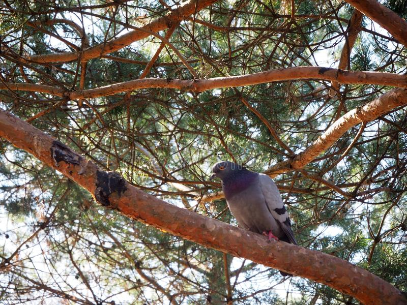 A pigeon is sitting on a tree branch royalty free stock photos