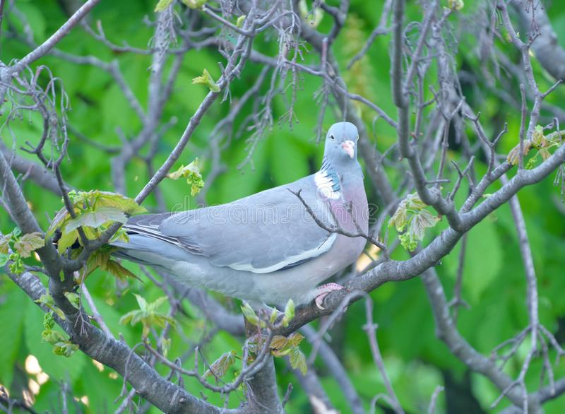 Pigeon sitting on a tree royalty free stock photos