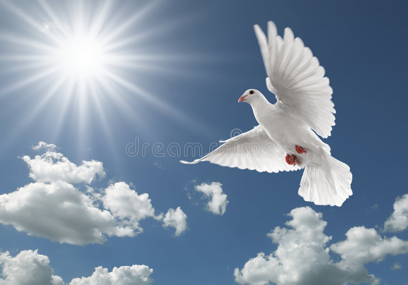 Pigeon in the sky. White dove flying on clear blue sky