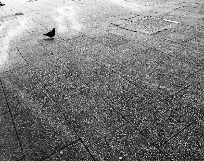 Pigeon solitaire sur le trottoir photographie stock