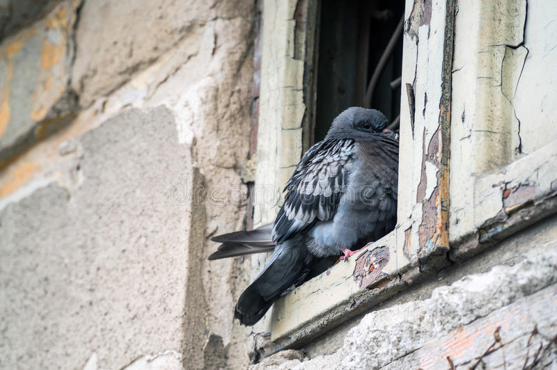Pigeon somnolent photographie stock