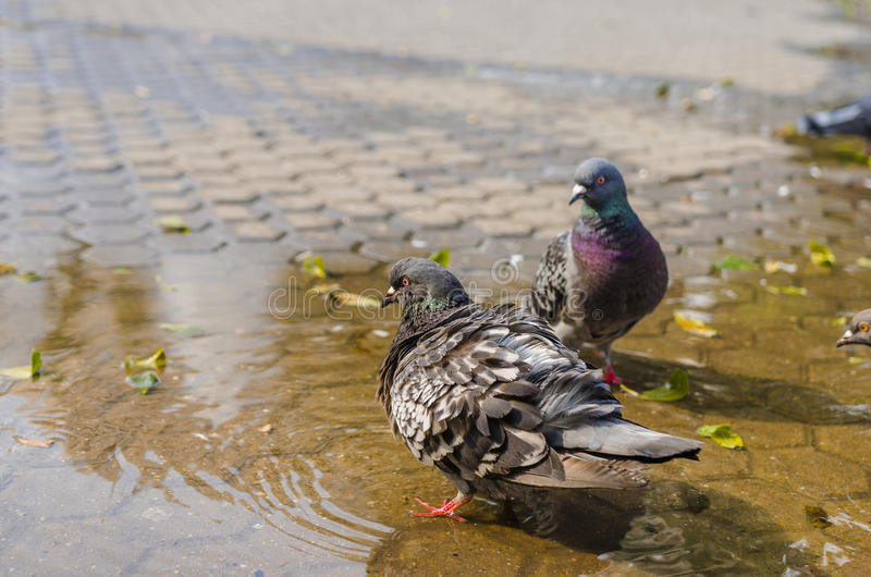 Pigeon soufflé dans l'eau photo libre de droits