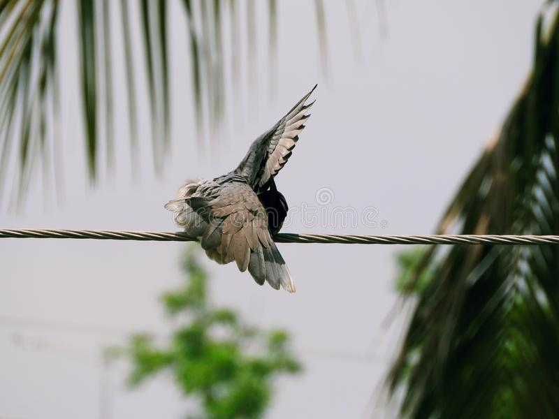 A pigeon spreading it wings. stock photo
