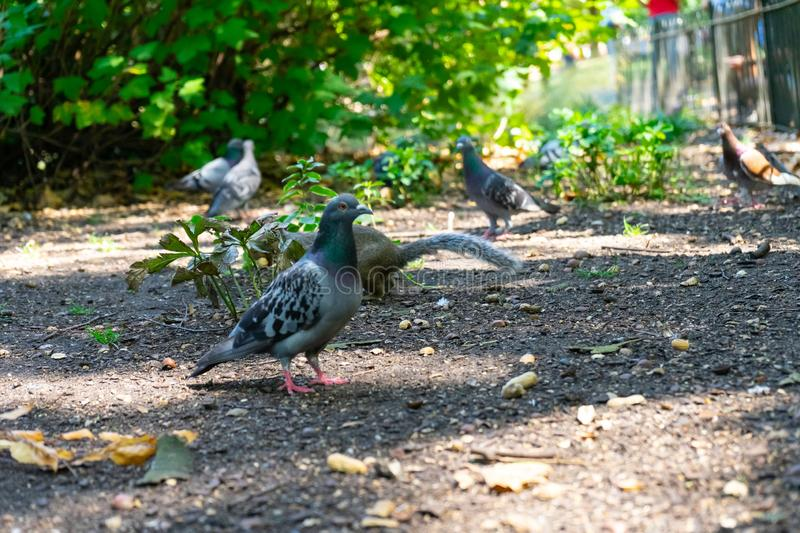 Pigeon on St James Park in London, UK.  stock photos