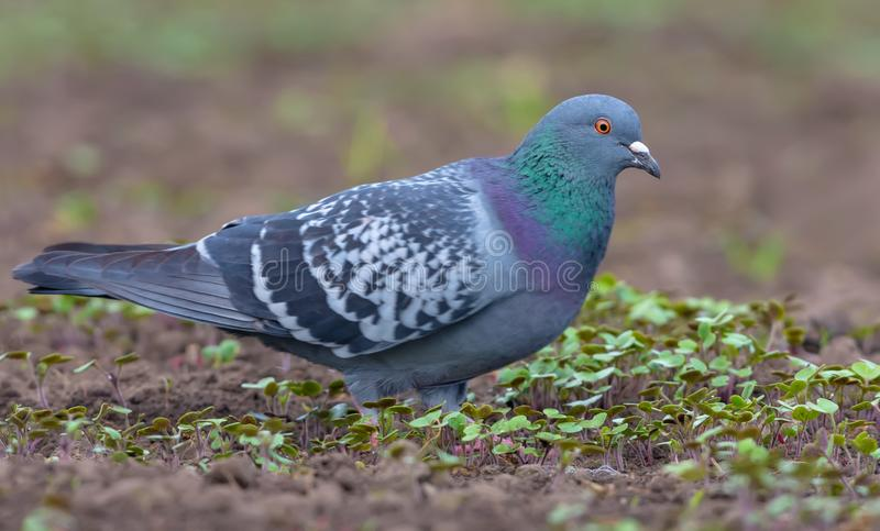Pigeon standing in open bare field with small grass plants around royalty free stock photography
