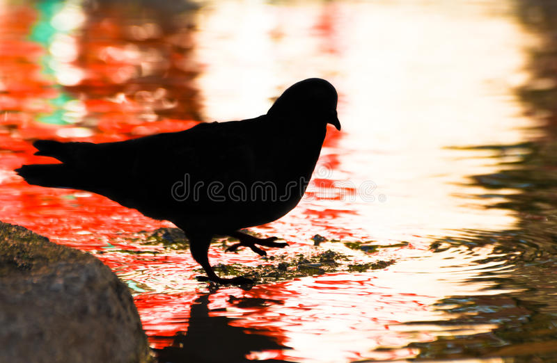 Download Pigeon Standing On Water, Silhouette. Stock Image - Image: 83707047