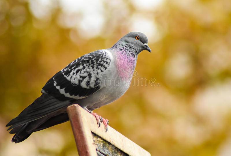 Download Pigeon Standing On A Wood, Closeup. Stock Image - Image: 83706811