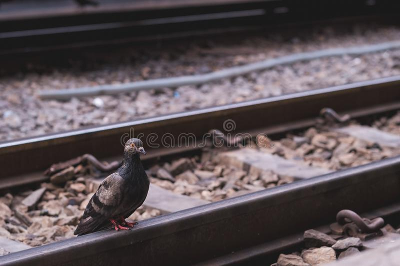 A pigeon stands alone on an empty railway platform. A pigeon stands on an empty railway platform stock photo