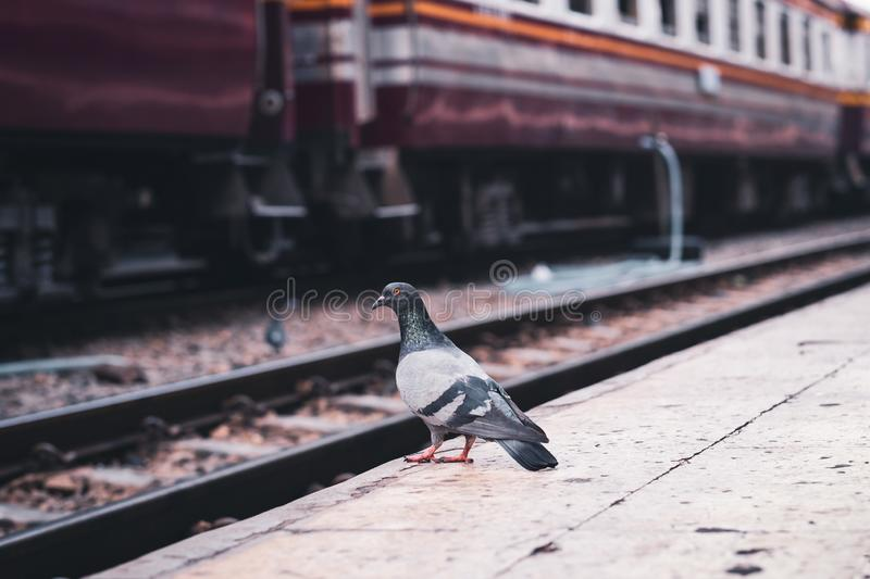 A pigeon stands alone on an empty railway platform. A pigeon stands on an empty railway platform royalty free stock photography