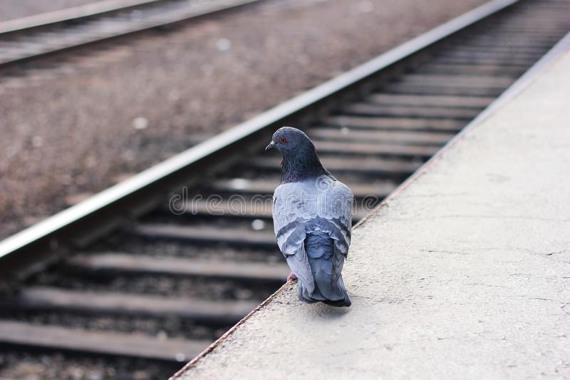 A pigeon stands alone on an empty railway platform. A pigeon stands alone on the edge of an empty railway platform and looks at the railroad tracks stock image