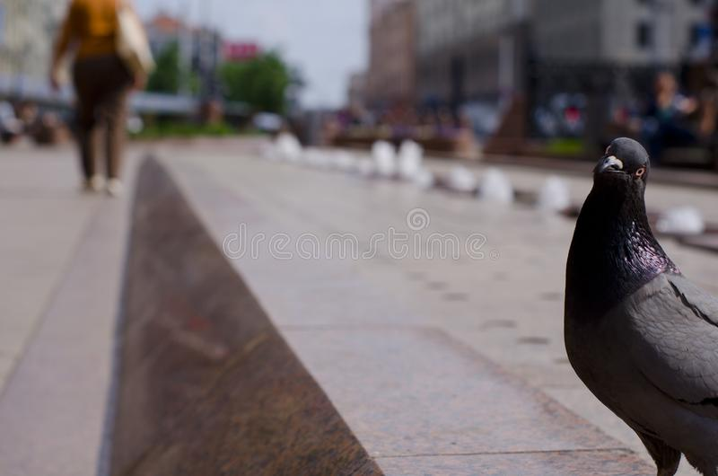 Pigeon in the street royalty free stock image