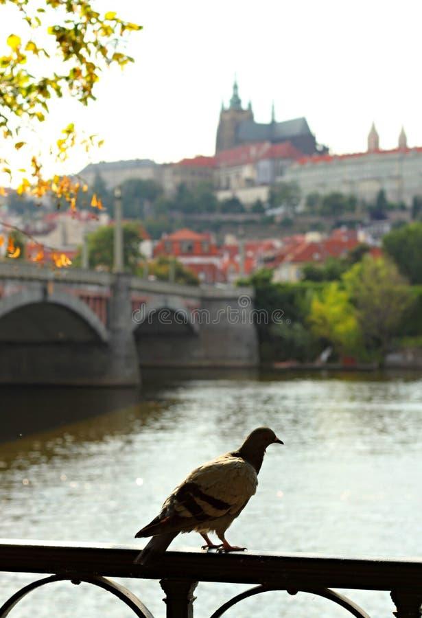 Pigeon sur la balustrade et la rivière Vltava photo libre de droits